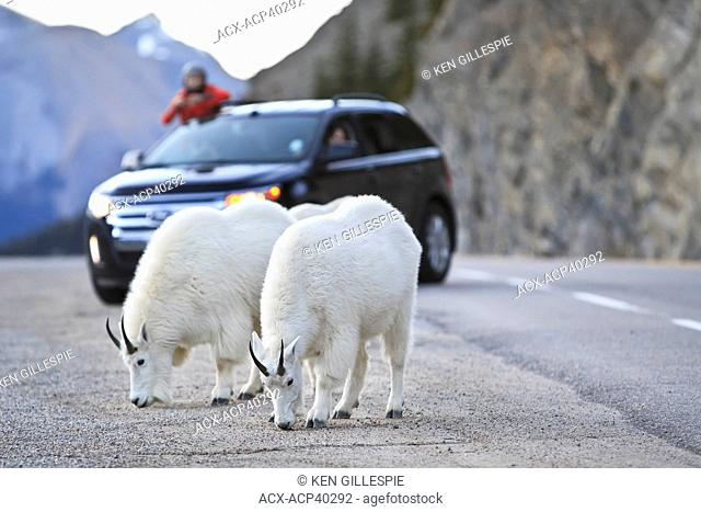 Mountain Goats Oreamnos Americanus feeding on salt and tourist sightseers on highway. Jasper National Park, Alberta, Canada
