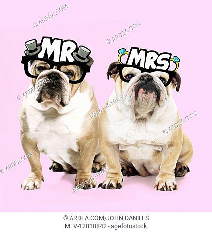 Dog, Bulldogs wearing Mr & Mrs glasses Dog, Bulldogs wearing Mr & Mrs glasses Digital manipulation Dog, Bulldogs wearing Mr & Mrs glasses Dog