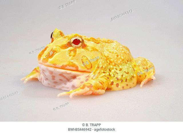 Cranwell's horned frog, Chacoan horned frog, Cranwell's pacman frog, horned frog, horned toad (Ceratophrys cranwelli), Albino