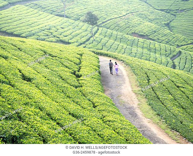 Tea plantation in Conoor, Tamil Nadu, India
