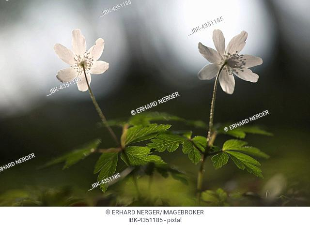 Wood anemone (Anemone nemorosa), Emsland, Lower Saxony, Germany