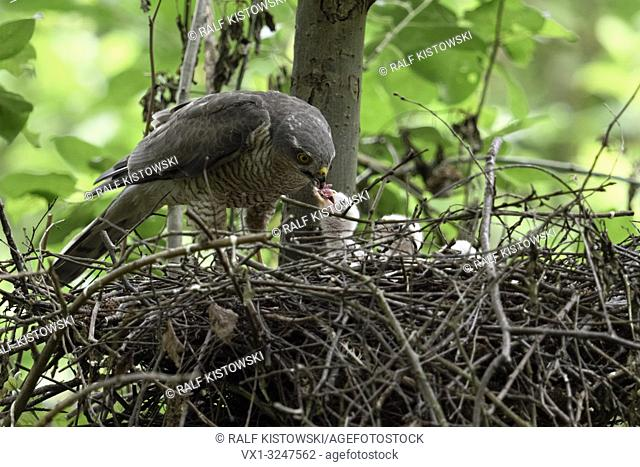 Sparrowhawk / Sperber ( Accipiter nisus ), caring female, feeding its offspring carefully, young chicks in nest begging for food, wildlife, Europe