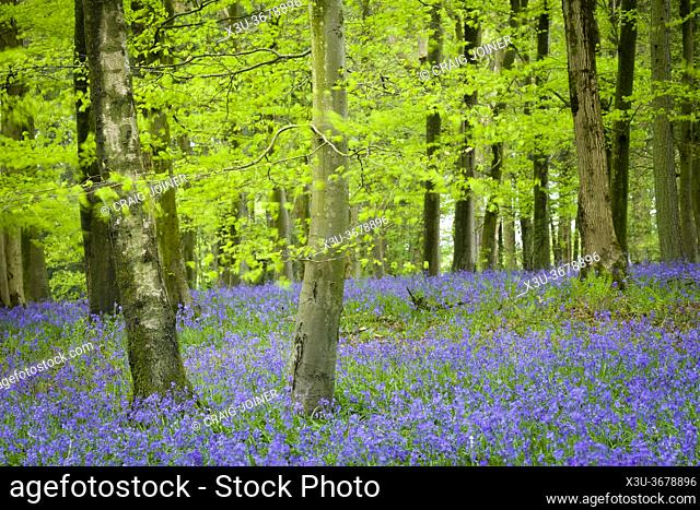 Blurry bluebells and leaves in a windy beech woodland in the Mendip Hills at Fuller's Hay near Blagdon, North Somerset, England