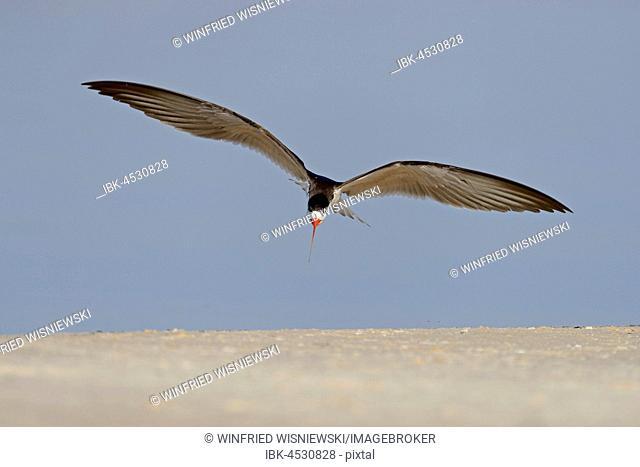 African skimmer (Rynchops flavirostris) in flight, Chobe River, Chobe National Park, Botswana