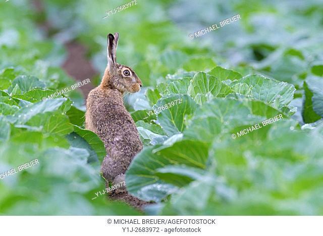 European Brown Hare (Lepus europaeus) in Green Cabbage Field, Summer, Hesse, Germany, Europe