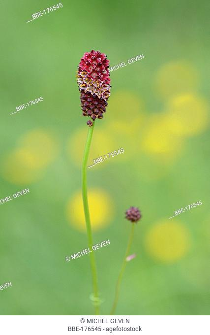 Flowering Great burnet on alpine meadow