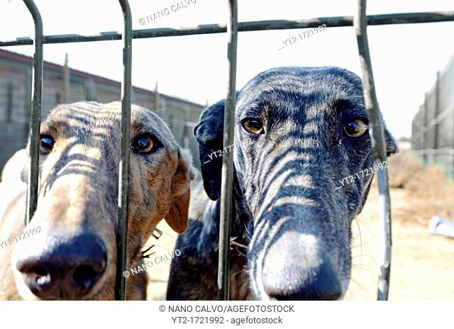 Abandoned greyhounds waiting for a new owner at a crowded dog shelter, Madrid