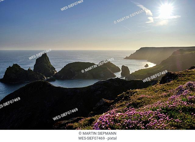 UK, England, Cornwall, The Lizard, Kynance Cove, marsh daisies at the coast in the evening