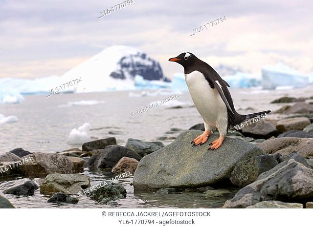 A gentoo penguin Pygoscelis papua cautiously approaches the waters edge on Danko Island, Antarctic Peninsula