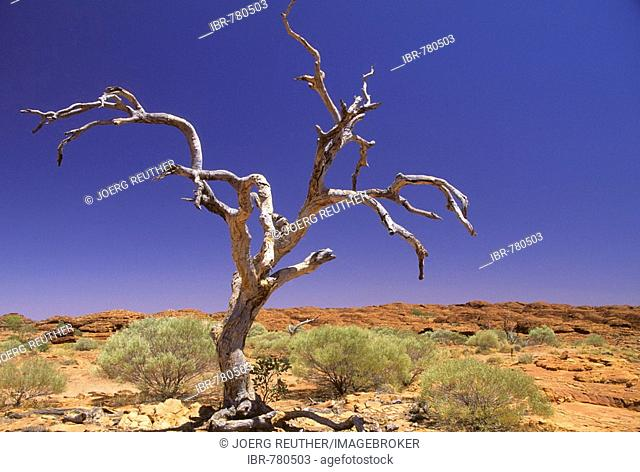 Dead tree in Red Centre, semi-desert in the outback, Northern Territory, Australia