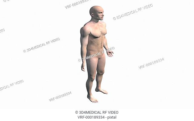 A model of the male body rotates as the camera pans down, then the body wipes down to reveal the skeletal system and central nervous system