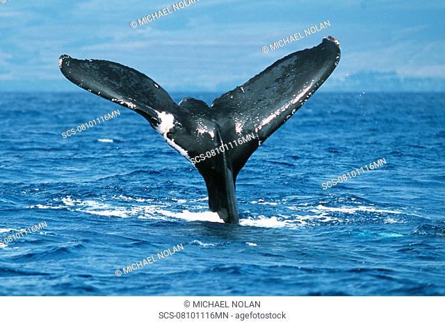Pacific humpback whale adult female, Megaptera novaeangliae, with wounds/scar on flukes, Maui, Hawaii