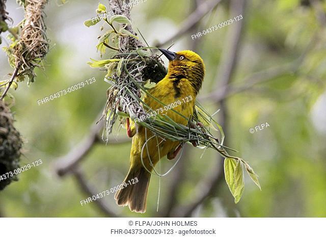 Cape Weaver Ploceus capensis adult male, weaving nest material, Bontebok N P , Western Cape, South Africa, September