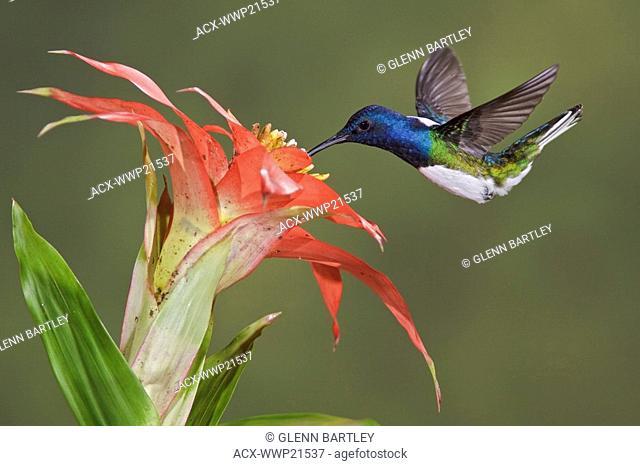 White-necked Jacobin Florisuga mellivora feeding at a flower while flying at Bueneventura Lodge in southwest Ecuador