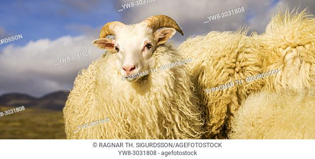 Portrait of Icelandic Lamb, Autumn round-up, Iceland
