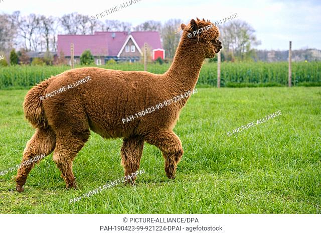 """14 April 2019, Lower Saxony, Drantum: An alpaca stands on a meadow. On their farm """"""""Herzog-Alpakas"""""""" a family offers photo shoots and wool products as well as..."""