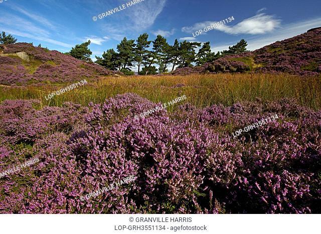 England, West Yorkshire, Ilkley Moor. Heather on Ilkley Moor, part of Rombalds Moor, in late summer