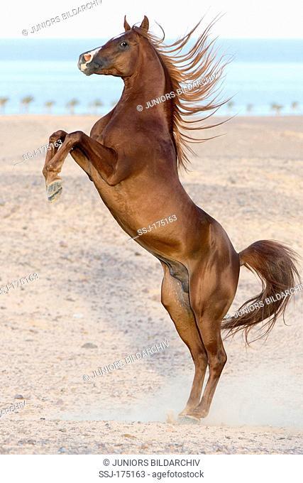 Purebred Arabian Horse. Chestnut stallion rearing in the desert