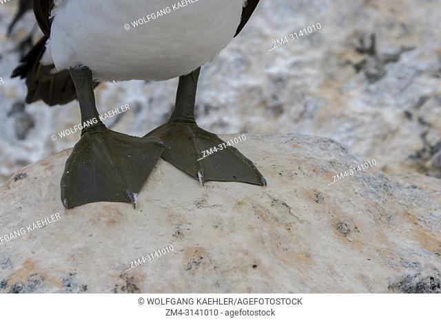 Close-up of the feet of a Nazca booby (Sula granti) on Hood Island (Espanola Island) in the Galapagos Islands, Ecuador