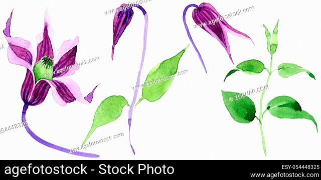Wildflower clematis hanajima flower in a watercolor style isolated. Full name of the plant: clematis hanajima. Aquarelle wild flower for background, texture