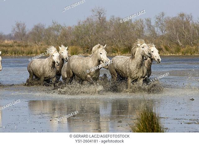 Camargue Horse, Herd walking through Swamp, Saintes Maries de la Mer in the South East of France
