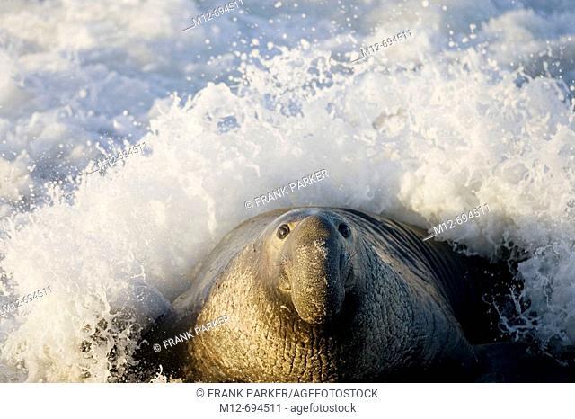 Bull Elephant Seal on San Simeon Beach  California, USA