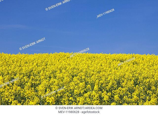 Rape field in full flower Germany