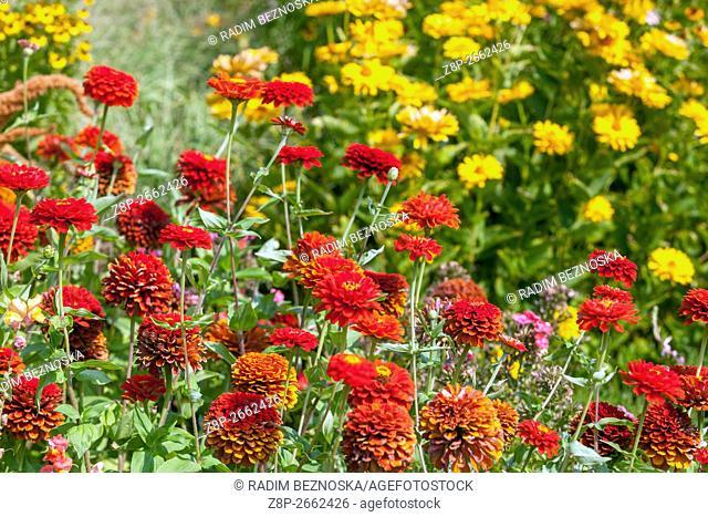 Red Zinnia elegans, flowerbed