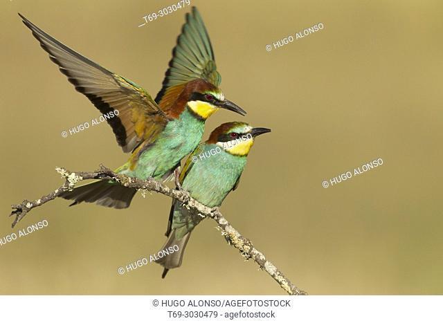 Twin European Bee Eaters. Spain