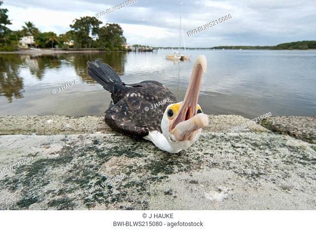 Pied Cormorant, Pied Shag Phalacrocorax varius, begging, Australia, Queensland, Tin Can Bay