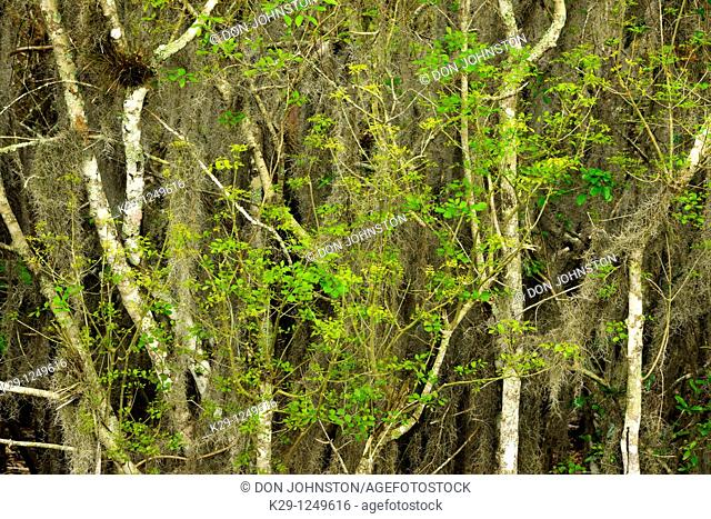 Laurel oak trees with spring foliage and spanish moss