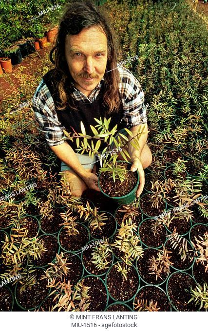 Environmentalist Stephen King grows kauri trees, Agathis australis, Waipoua Sanctuary, New Zealand