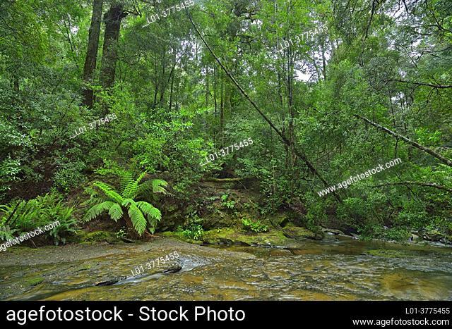 Forest in McGowan's Falls, West Takone, Tasmania, Australia