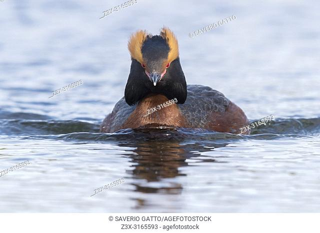 Horned Grebe (Podiceps auritus), adult swimming in a pond