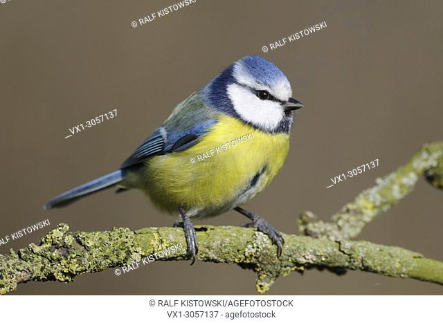 Eurasian Blue Tit ( Cyanistes caeruleus ), detailed close up, perched on a branch in nice light, wildlife, Europe