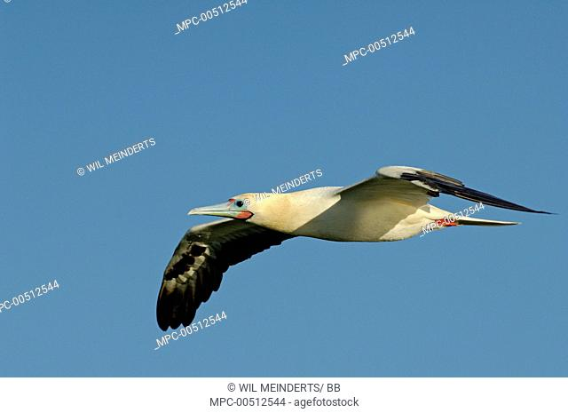 Red-footed Booby (Sula sula) flying, Aldabra, Seychelles
