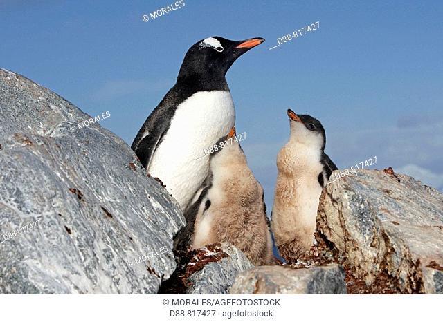 Gentoo Penguin(Pygoscelis papua papua). Ronge Island, Antarctica