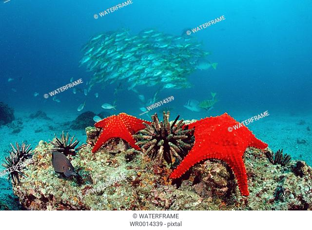 Red Seastars, Baja California, Pacific, Mexico
