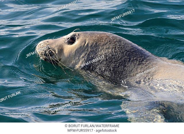 Mediterranean Monk Seal, Monachus monachus, Adria, Croatia