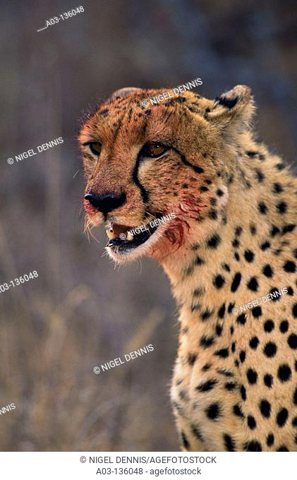 Cheetah (Acinonyx jubatus). Sabi Sabi private game reserve, South Africa