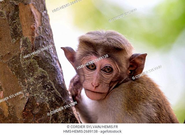 Sri Lanka, Yala national patk, Toque macaque (Macaca sinica)
