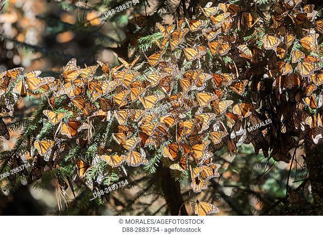 Central America, Mexico, State of Michoacan, Angangueo, Reserve of the Biosfera Monarca Sierra Chincua, monarch butterfly (Danaus plexippus)