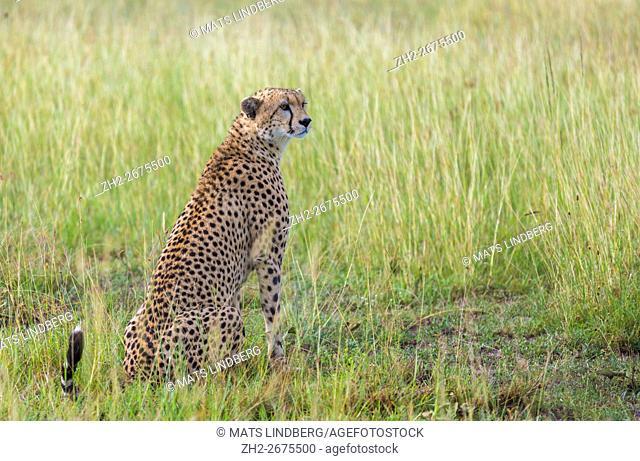 Cheetah sitting on the savanna in Masai mara, Kenya, Africa