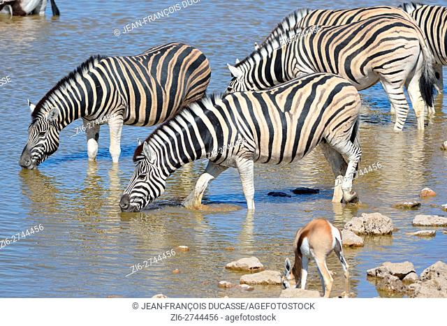 Burchell's zebras (Equus quagga burchellii) with one springbok (Antidorcas marsupialis), drinking at a waterhole, Etosha National Park, Namibia, Africa