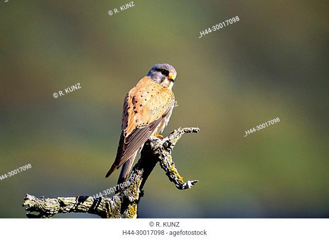 Common Kestrel, Falco tinnunculus, male, Falconidae, Kestrel, bird of prey, bird, animal, Zervreila, Alps, Canton of Grisons, Switzerland