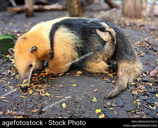 Zookeepers are celebrating the arrival of an adorable baby tamandua at ZSL London Zoo - after loved up parents Ria and Tobi welcomed their fourth pup on Friday...