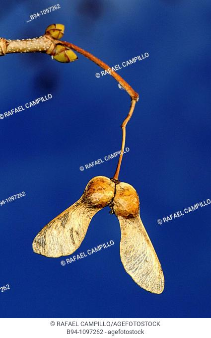 Maple tree samaras, Osseja. Pyrenees-Orientales, Languedoc-Roussillon, France