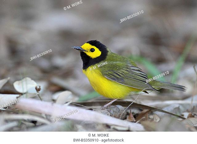 Hooded warbler (Wilsonia citrina), male sitting on forest ground, USA, Florida, Fort de Soto