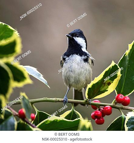 Coal Tit (Periparus ater) standing in alert pose on a branch of Holly (Ilex aquifolium) with red berries, The Netherlands, Drenthe, Emmen, Garden