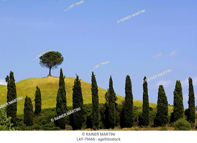 Row of cypress trees, near Buonconvento, Tuscany, Italy